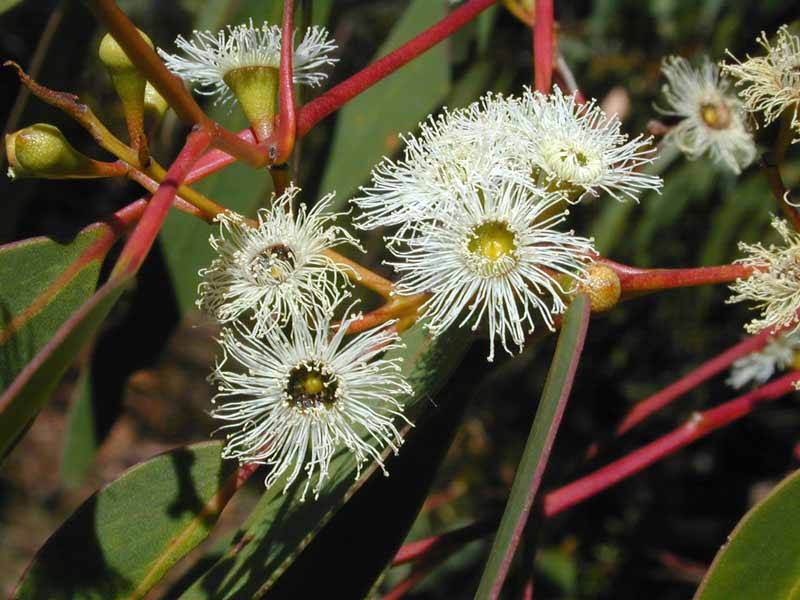 Australian Plants Society: Sutherland Group Home Page: Search